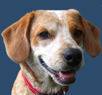 Popper the Beagle Mix