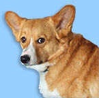 Pembroke Welsh Corgi Merlin