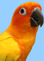 Colorful Sun Conure Products